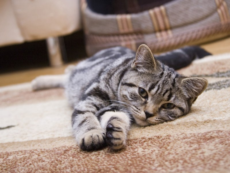 Шерсть от животных на ковре