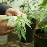Полезные свойства семян марихуаны